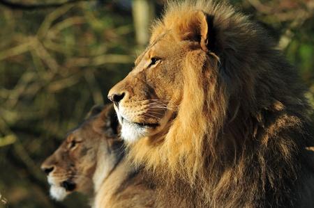De majestueuze familieportret - Lion king en zijn koningin in de achtergrond Stockfoto