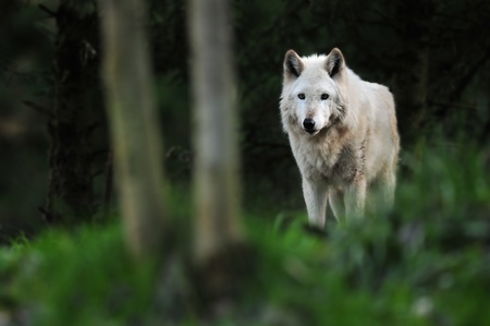 The great gray wolf standing under the moonlight in the forest photo