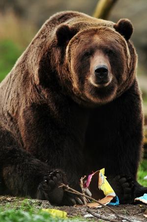 ours: Ours g�ant en peluche brune encore jouer avec bo�te de papier