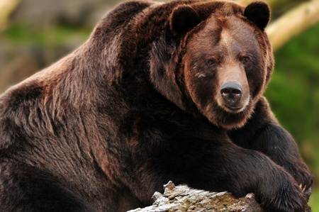 angry bear: Beautiful portrait of a gigantic grizzly (kodiak) bear staring towards the camera Stock Photo