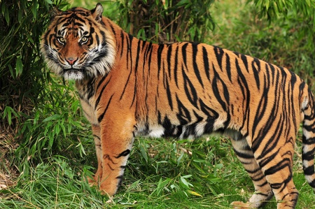 Adult bengal tiger spotted deep in the bamboo forest photo