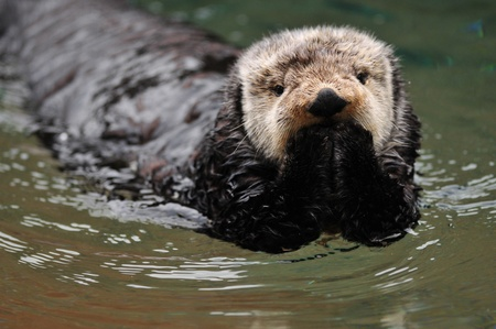 Very cute arctic tundra sea otter covers its mouth as if it has done something wrong.