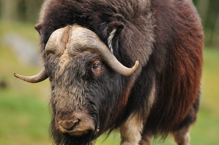 portrait of an angry musk oxwith big horns