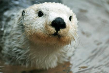 otter: Adorable arctic white sea otter closeup portrait