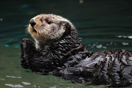 Arctic sea otter playing in the water Standard-Bild