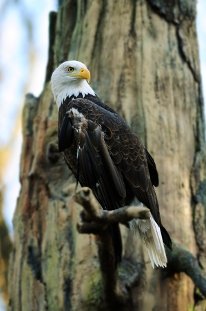 American bald eagle perched on tree searching for prey photo