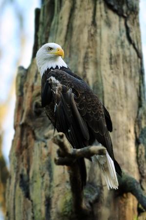 calvo: Águila calva americana encaramado en el árbol en busca de presas