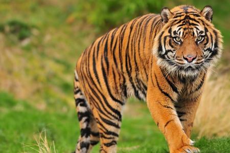 Scary looking male sumatran tiger coming straight towards you photo