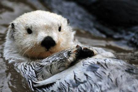 Closeup of a cute arctic sea otter relaxing in the water Zdjęcie Seryjne