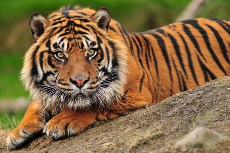 Belle tigre de Sumatra accroupi sur un rocher Banque d'images - 10613564