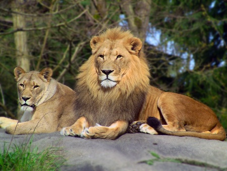 female lion: Majestic African Lion and Lioness pair resting over rock