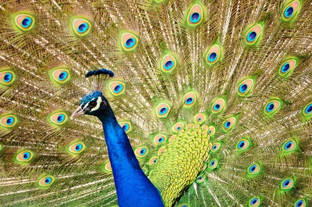 mating colors: Closeup of a Peacock dancing during the mating season