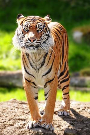 Massive Sumatran tiger standing over rock staring towards the camera