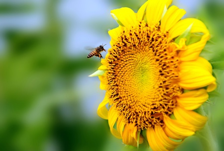buzz: Busy bee picking up pollens from a sunflower, focus is on the bee.