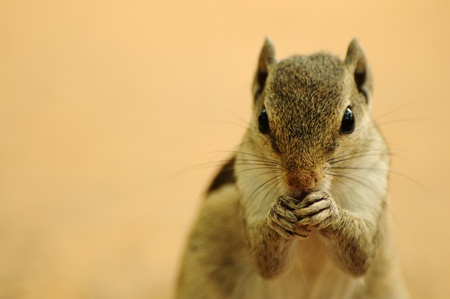 Front portrait of a chipmunk feeding with both hands photo