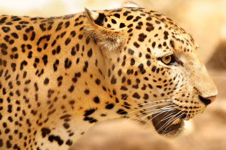 Closeup horizontal portrait of a hungry leopard with watchful eyes Stock Photo - 10731786