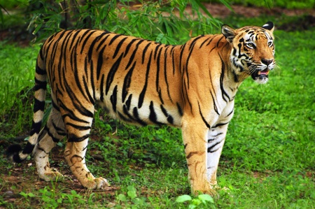 siberian tiger: Royal bengal tiger in its natural habitat at Sundarban forest in Bengal India Stock Photo