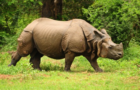 assam: Great Indian one horned rhinoceros at Kaziranga national park in Assam state
