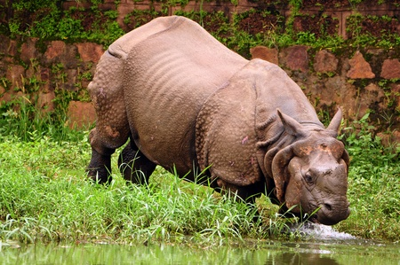 taking the plunge: Indian one horned rhinoceros taking a plunge into the river for a bath