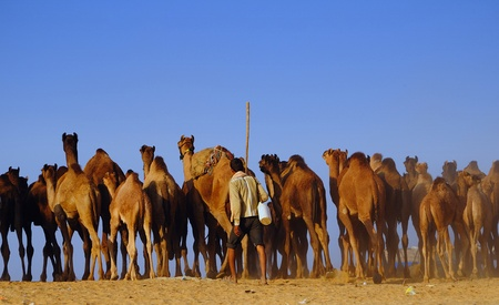 PUSHKAR, INDIA - NOVEMBER 7: A camel trader guides his herd towards the Pushkar cattle fair on November 7, 2011 in Pushkar, Rajasthan, India. This fair is the largest camel trading fair in the world.