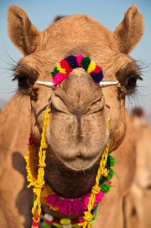 Close up of a decorated Indian Camel staring at the camera Standard-Bild