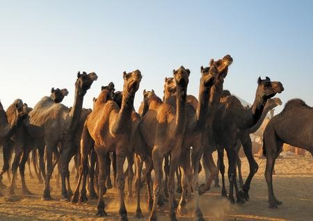 Las manadas de camellos frescos que llegan en la feria de ganado de Pushkar en luz de la ma�ana Foto de archivo - 11505851
