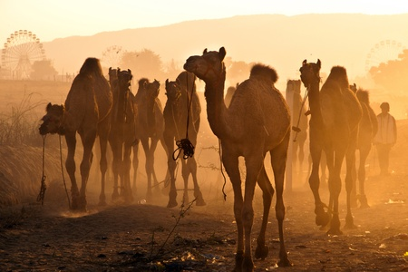 camel silhouette: Fresh herd of camels arrive at the Pushkar fair grounds in the golden rays of sunrise Stock Photo