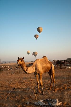 Dromedary camels and hot air balloons at dawn at the Pushkar cattle fair 2011. photo