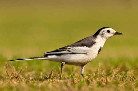 Closeup of a White Wagtail (Motacilla Alba) bird in a meadow photo