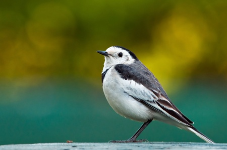 White Wagtail (Motacilla Alba) bird over beautiful colorful background