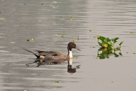dabbling: Northern Pintail male swimming in a lake