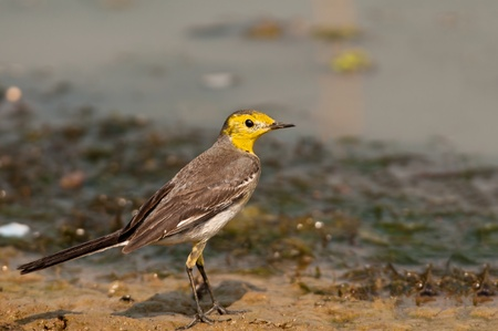 wagtail: Citrine Wagtain (Motacilla citreola) searching for food on a river bank Stock Photo