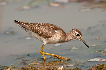 Wood sandpiper searching for food in marshy wetlands at Chilika Lake Stock Photo - 12502328