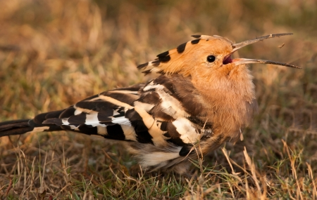 A hoopoe catching a worm after digging and tossing it in the air, in the soft light of dawn  photo