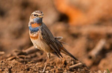 ruiseñor: Pechiazul Retrato masculino de aves en su hábitat en el lago Chilika, Orissa, India