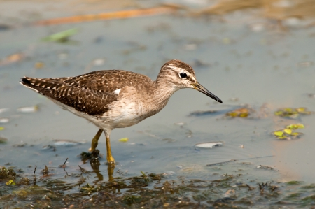 chilika: Wood Sandpiper searching for food in shallow waters of Chilika Lake, Orissa, India