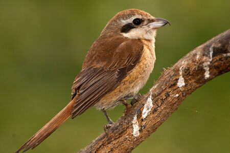 catchlight: Close up of a female Brown Shrike in winter plumage.