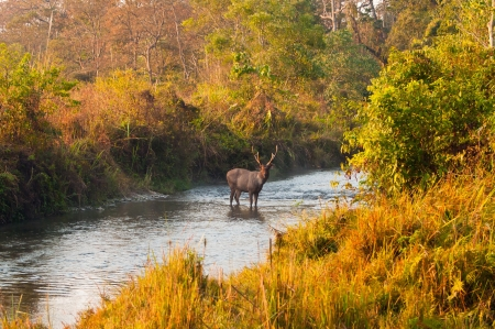 Male Sambar deer standing in the middle of a jungle stream at Jaldapara Wildlife Sanctuary during the golden hour of sunrise