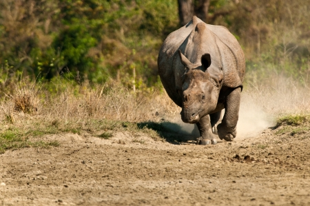 A rhinoceros charging in the direction of the camera with dust flying around.