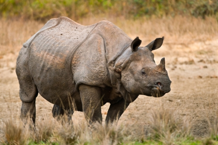 rhino: A large adult one horned rhinoceros in a salt lick at Jaldapara Wildlife Sanctuary in India  Stock Photo