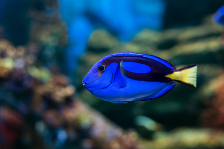 hepatus: Royal blue regal tang fish swimming through colorful coral reef Stock Photo