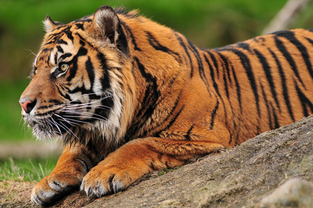 panthera tigris: Closeup side portrait of a tiger crouching on a rock focussing on its prey Stock Photo