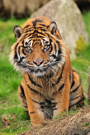 panthera tigris: Vertical portrait of a curious looking tiger staring towards the camera Stock Photo