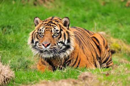 panthera tigris: A royal bengal tiger in crouching posture concentrating on its prey Stock Photo