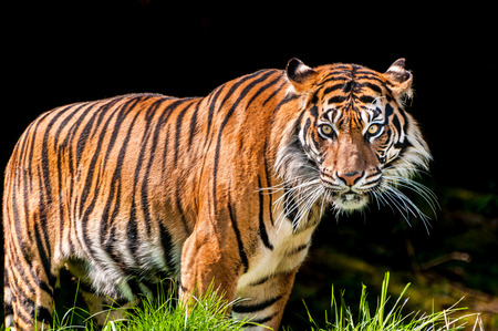 looking towards camera: Portrait of a scary tiger over dark background with vicious eyes looking intensely towards the camera