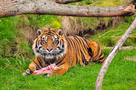 panthera tigris: Angry tiger looks up towards the camera while eating