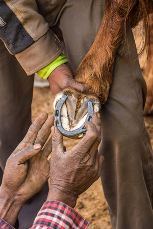 eventing: A farrier checks out the measurements of horseshoe on a horses hoofs.