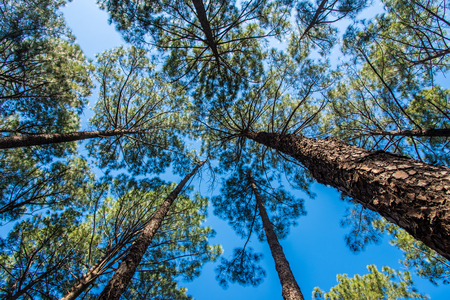 Tall pine trees reaching up to the blue sky in pine forest at Netarhat Stock Photo