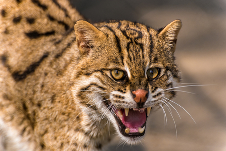 Large Fishing cat growling with aggression at being threatened Stock Photo