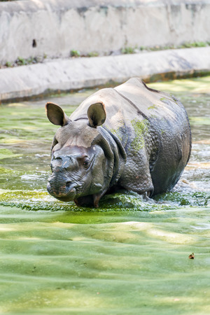 An Indian rhinoceros taking a stroll in a shallow algae canal trying to beat the summer heat.